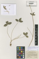 Isotype of Trifolium endressii J. Gay [family FABACEAE]