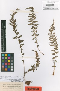 Isotype of Athyrium hohenackerianum (Kunze) T. Moore [family WOODSIACEAE]