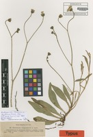 Isotype of Hieracium x illegitimum Peter [family ASTERACEAE]