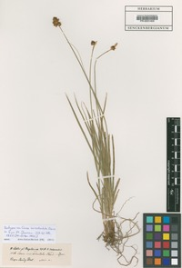Isotype of Carex incisodentata Steud. [family CYPERACEAE]