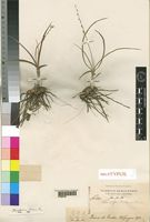 Holotype of Chlorophytum tordense Chiov. [family ANTHERICACEAE]