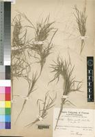Holotype of Digitaria pennata (Hochst.) T.Cooke var. pilosa Chiov. [family GRAMINEAE]