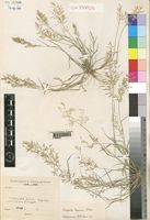 Syntype of Eragrostis multiflora (Forssk.) Asch. var. pappiana Chiov. [family GRAMINEAE]