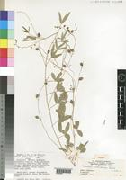 Isotype of Crotalaria malindiensis Polhill [family LEGUMINOSAE]