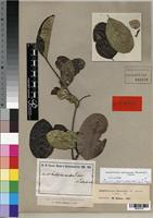 Isotype of Landolphia petersiana var. tubeufii Stapf [family APOCYNACEAE]