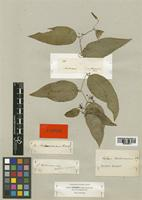 Type of Smilax hostmanniana Kunth [family LILIACEAE]
