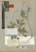 Spilanthes limonica A. H. Moore [family COMPOSITAE]