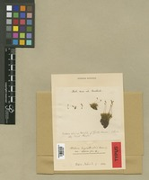 Type of Webera alpina Hoppe & Hornsch. [family BRYACEAE]