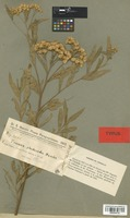 Type of Tessaria plucheoides Hassl. [family COMPOSITAE]