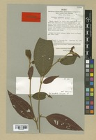 Isotype of Clidemia simpsonii Wurdack [family MELASTOMATACEAE]