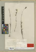 Lectotype of Castilleja anthemidifolia Benth. [family SCROPHULARIACEAE]