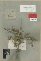 Isotype of Amelanchier pisidica Boiss. & Heldr. [family ROSACEAE]