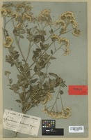 Type of Eupatorium balansae Hieron. [family COMPOSITAE]