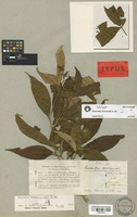 Holotype of Rauvolfia moricandii A. DC. [family APOCYNACEAE]
