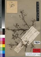 Isosyntype of Commiphora brevicalyx H. Perrier [family BURSERACEAE]