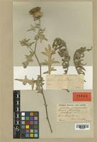 Type of Cirsium amani Post [family COMPOSITAE]