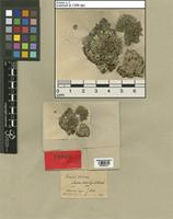 Holotype of Parmelia tiliacea (Hoffm.) Ach. var. minor Müll. Arg. [family LICHENES]