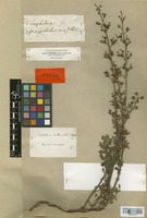 Lectotype of Scrophularia crithmifolia Boiss. [family SCROPHULARIACEAE]