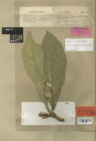 Isotype of Symplocos lenormandiana Brongn. & Gris [family SYMPLOCACEAE]