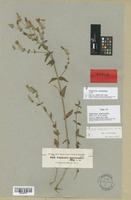 Isotype of Canscora macrocalyx C. B. Clarke [family GENTIANACEAE]