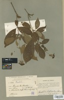 Isotype of Rondeletia leptodictya B. L. Rob. [family RUBIACEAE]
