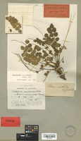 Lectotype of Poterium ancistroides Desf. [family ROSACEAE]
