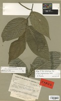 Isotype of Piper evulsipilosum Trel. [family PIPERACEAE]