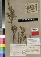 Lectotype of Justicia ndellensis Lindau [family ACANTHACEAE]
