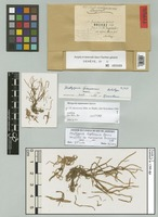 Holotype of Metzgeria fuscescens Steph. [family METZGERIACEAE]