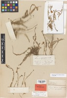 Holotype of Linum pycnophyllum Boiss. & Heldr. [family LINACEAE]