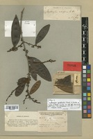 Isolectotype of Erythroxylum citrifolium A. St.-Hil. [family ERYTHROXYLACEAE]