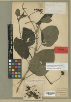 Isotype of Stigmaphyllon irregulare A. Juss. [family MALPIGHIACEAE]