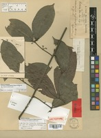 Lectotype of Salacia ulei Loes. [family HIPPOCRATEACEAE]