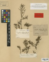 Isotype of Herpestis cochlearia Huber [family SCROPHULARIACEAE]