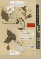 Isotype of Fagus japonica Maxim. [family FAGACEAE]