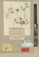 Isolectotype of Stylidium dielsianum E. Pritz. [family STYLIDIACEAE]