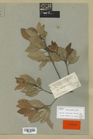 Isotype of Persea humilis Nash [family LAURACEAE]