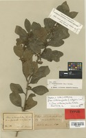 Lectotype of Ilex sideroxyloides Griseb. f. vulgaris Loes. [family AQUIFOLIACEAE]