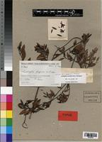 Isotype of Landolphia fragrans Pichon [family APOCYNACEAE]