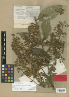 Isotype of Vernonia mexiae H. Rob. [family COMPOSITAE]