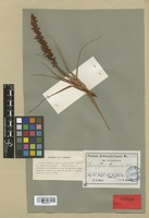Isotype of Dracophyllum dracaenoides Schltr. [family EPACRIDACEAE]