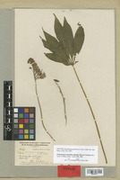 Isotype of Gynandropsis phoenicea Turcz. [family CAPPARACEAE]