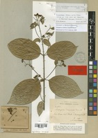Isotype of Tetrapterys donnell-smithii Small [family MALPIGHIACEAE]