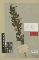 Holotype of Helicteres aspera A. St.-Hil. & Naudin [family STERCULIACEAE]