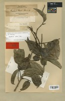 Isolectotype of Bauhinia elmeri Merr. [family LEGUMINOSAE]