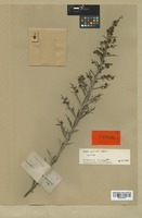 Isotype of Acacia ulicina Meisn. [family MIMOSACEAE]