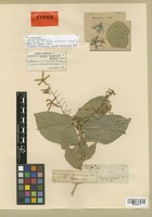 Lectotype of Petrea mexicana Cham. [family VERBENACEAE]