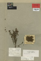 Isotype of Dendrophthora lindeniana Tiegh. [family LORANTHACEAE]