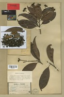 Isotype of Ixonanthes cochinchinensis Pierre [family LINACEAE]
