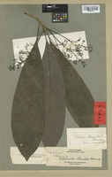 Isotype of Beilschmiedia oblanceolata Merr. [family LAURACEAE]